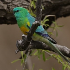 Psephotus haematonotus at Jerrabomberra Wetlands - 8 Sep 2020