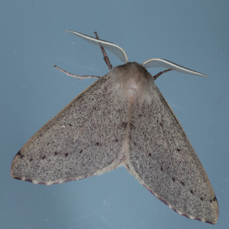 Arhodia lasiocamparia at Ainslie, ACT - 8 Sep 2020