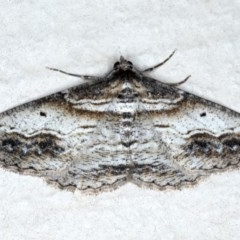 Syneora euboliaria (A looper or geometer moth) at Ainslie, ACT - 8 Sep 2020 by jbromilow50