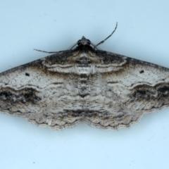 Syneora euboliaria at Ainslie, ACT - 8 Sep 2020