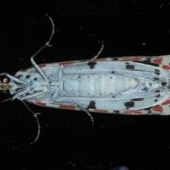 Utetheisa pulchelloides at Ainslie, ACT - 8 Sep 2020