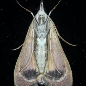 Uresiphita ornithopteralis at Ainslie, ACT - 8 Sep 2020