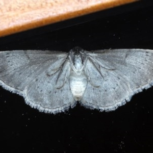 Phelotis cognata at Ainslie, ACT - 8 Sep 2020
