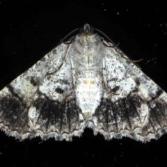 Gastrina cristaria at Ainslie, ACT - 8 Sep 2020