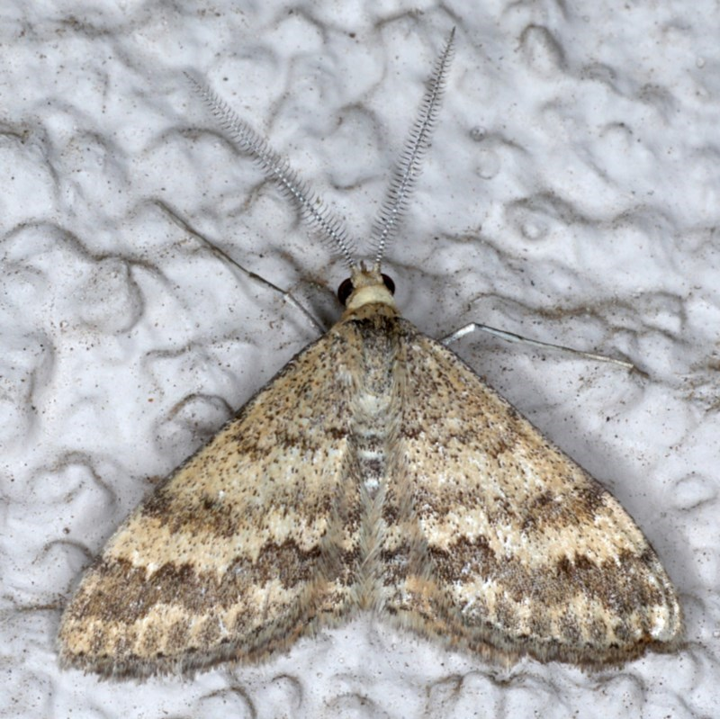 Scopula rubraria at Ainslie, ACT - 8 Sep 2020