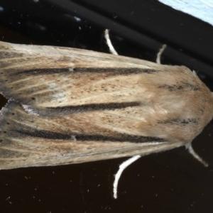 Leucania diatrecta at Ainslie, ACT - 8 Sep 2020