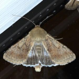Helicoverpa (genus) at Ainslie, ACT - 8 Sep 2020