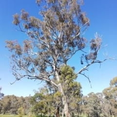 Eucalyptus melliodora (Yellow Box) at Watson, ACT - 30 Aug 2020 by EcolCara37