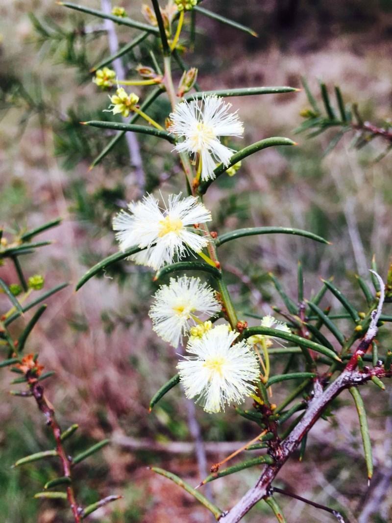 Acacia genistifolia at Dryandra St Woodland - 9 Sep 2020