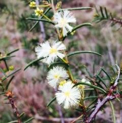 Acacia genistifolia (Early Wattle) at Dryandra St Woodland - 8 Sep 2020 by RWPurdie