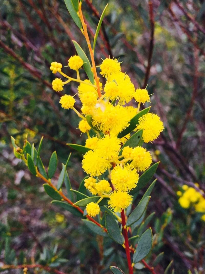 Acacia buxifolia subsp. buxifolia at Dryandra St Woodland - 9 Sep 2020