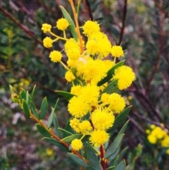Acacia buxifolia subsp. buxifolia (Box-leaf Wattle) at Dryandra St Woodland - 8 Sep 2020 by RWPurdie