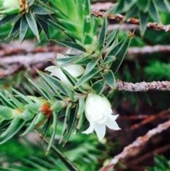Melichrus urceolatus (Urn heath) at Dryandra St Woodland - 8 Sep 2020 by RWPurdie