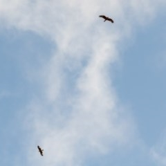 Hieraaetus morphnoides (Little Eagle) at Black Mountain - 9 Sep 2020 by ajc
