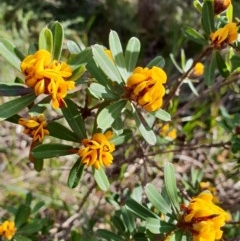 Pultenaea daphnoides (Large-leaf Bush-pea) at Ulladulla, NSW - 6 Sep 2020 by Sybille