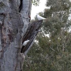 Cacatua galerita (Sulphur-crested Cockatoo) at Mount Mugga Mugga - 9 Sep 2020 by Mike