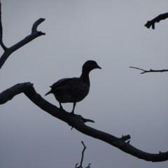 Chenonetta jubata (Australian Wood Duck) at Mount Mugga Mugga - 9 Sep 2020 by Mike