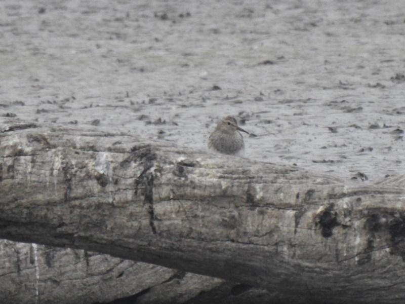 Calidris melanotos at Jerrabomberra Wetlands - 20 Nov 2019