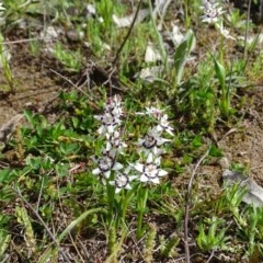 Wurmbea dioica subsp. dioica (Early Nancy) at Callum Brae - 9 Sep 2020 by Mike