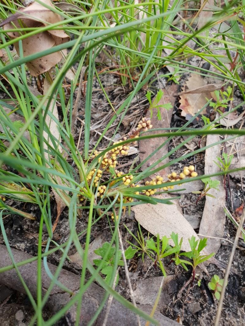 Lomandra glauca at Meroo National Park - 31 Aug 2020