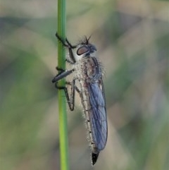 Cerdistus sp. (genus) (Robber fly) at Mount Painter - 6 Sep 2020 by CathB