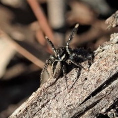 Jotus auripes (Jumping spider) at Aranda Bushland - 6 Sep 2020 by CathB