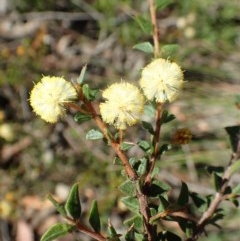 Acacia gunnii (Ploughshare Wattle) at Dryandra St Woodland - 10 Sep 2020 by RWPurdie