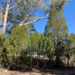 Callitris endlicheri (Black cypress pine) at Flea Bog Flat, Bruce - 10 Sep 2020 by JVR