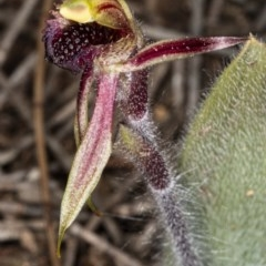 Caladenia actensis (Canberra spider orchid) at Downer, ACT - 11 Sep 2020 by DerekC
