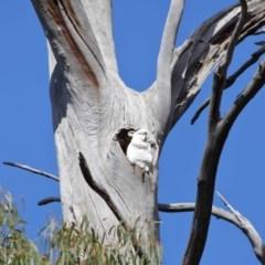 Cacatua galerita (Sulphur-crested Cockatoo) at Tidbinbilla Nature Reserve - 6 Sep 2020 by Tim L