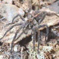 Venatrix sp. (genus) (Unidentified Venatrix wolf spider) at Jerrabomberra, NSW - 6 Sep 2020 by Harrisi