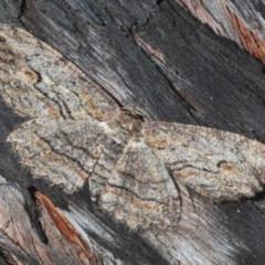 Ectropis excursaria (Common Bark Moth) at Mount Jerrabomberra - 6 Sep 2020 by Harrisi