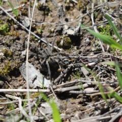 Tasmanicosa sp. (genus) (Unidentified Tasmanicosa wolf spider) at Mount Painter - 7 Sep 2020 by Tammy