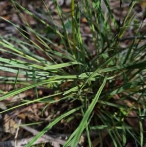 Stylidium graminifolium at Gungaderra Grasslands - 11 Sep 2020