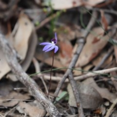 Cyanicula caerulea (Blue fingers) at Aranda Bushland - 10 Sep 2020 by Tammy
