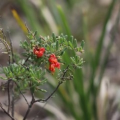 Grevillea alpina (Mountain Grevillea / Cat's Claws Grevillea) at Aranda Bushland - 10 Sep 2020 by Tammy