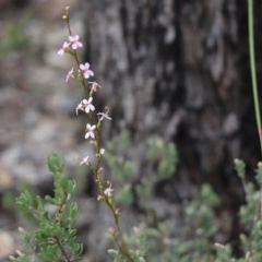 Stylidium graminifolium (Grass Triggerplant) at Aranda Bushland - 10 Sep 2020 by Tammy