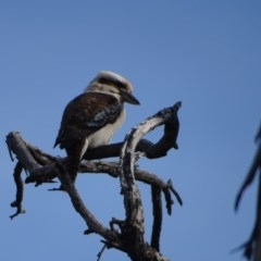 Dacelo novaeguineae (Laughing Kookaburra) at Mount Mugga Mugga - 11 Sep 2020 by Mike