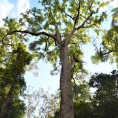 Angophora floribunda (Rough-barked Apple) at Barrengarry Nature Reserve - 11 Sep 2020 by plants