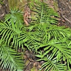 Blechnum cartilagineum (Gristle fern) at - 11 Sep 2020 by plants