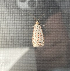 Utetheisa pulchelloides (Salt And Pepper Moth) at FS Private Property - 12 Sep 2020 by Stewart