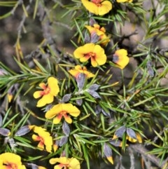 Dillwynia sieberi (A parrot pea) at Morton National Park - 11 Sep 2020 by plants