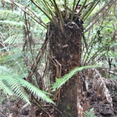 Dicksonia antarctica (Soft Treefern) at - 11 Sep 2020 by plants
