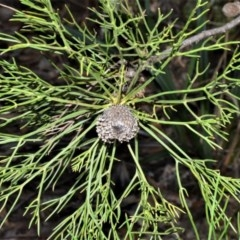 Isopogon anethifolius at Morton National Park - 11 Sep 2020 by plants