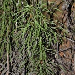 Lycopodium deuterodensum (Bushy Club Moss) at Fitzroy Falls, NSW - 11 Sep 2020 by plants