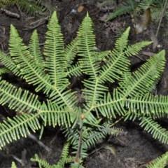 Sticherus lobatus (Spreading Fan Fern) at - 11 Sep 2020 by plants