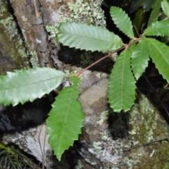 Callicoma serratifolia (Black wattle, Butterwood, Tdgerruing) at Morton National Park - 11 Sep 2020 by plants