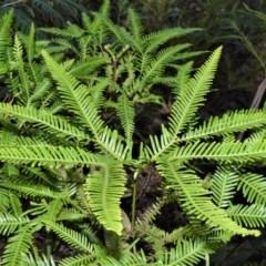 Sticherus flabellatus (Shiny Fan-fern, Umbrella Fern) at - 11 Sep 2020 by plants