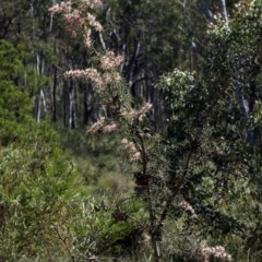 Hakea decurrens (Bushy Needlewood) at Black Mountain - 11 Sep 2020 by AllanS