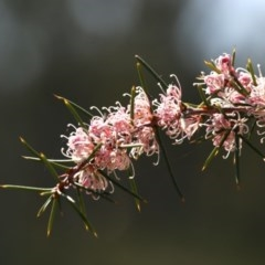 Hakea decurrens subsp. decurrens (Bushy Needlewood) at Black Mountain - 11 Sep 2020 by AllanS
